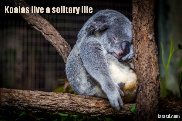 koala facts