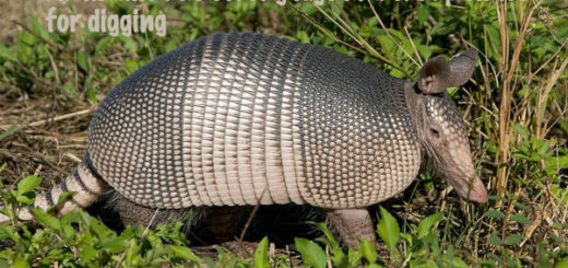 armadillo facts
