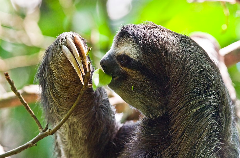 One of the sloth facts is they have conical teeth