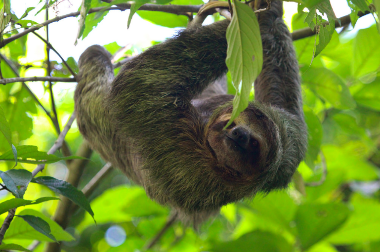One of the sloth facts is they are good at hanging on tree branches
