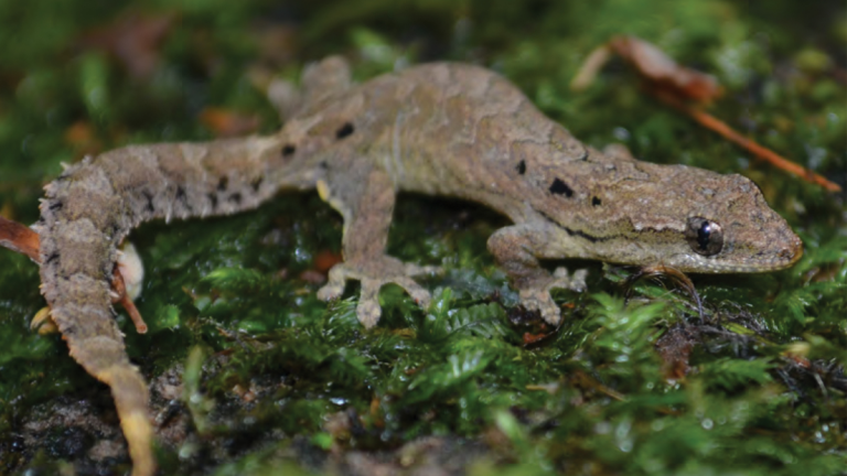 Mourning Gecko, or Lepidodactylus lugubris, sitting on some grass