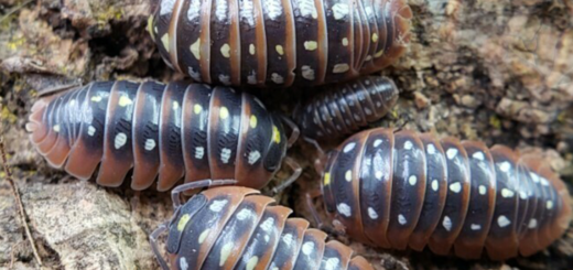 "Armadillidium klugii ""Montenegro"" with permission from Smug-Bug.com"