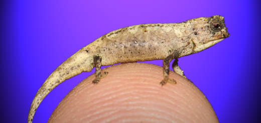 Smallest Reptile